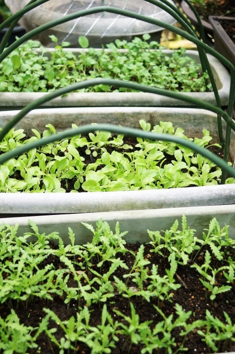 ■プランター菜園【水菜/サンチュ/掻き菜】の芽が出て来ました^^_b0033423_16440752.jpg