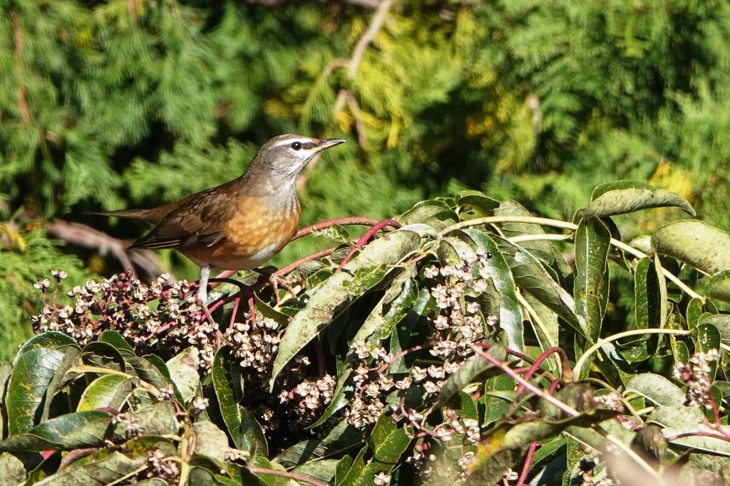 野鳥トレ 187 マミチャジナイ_b0227552_20063333.jpg