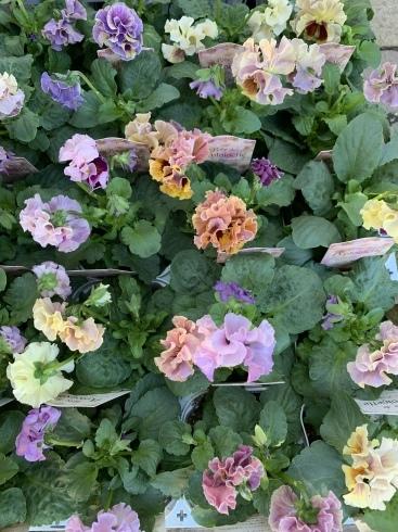 イベント出展や続々と入荷してくるお花に押され気味の日々_b0137969_06220133.jpeg
