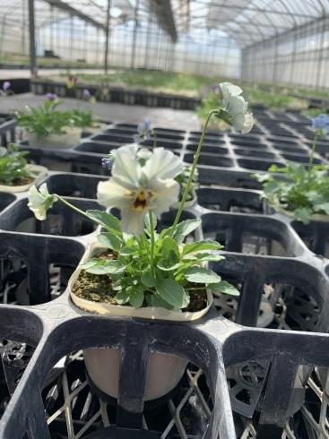 イベント出展や続々と入荷してくるお花に押され気味の日々_b0137969_06323484.jpeg