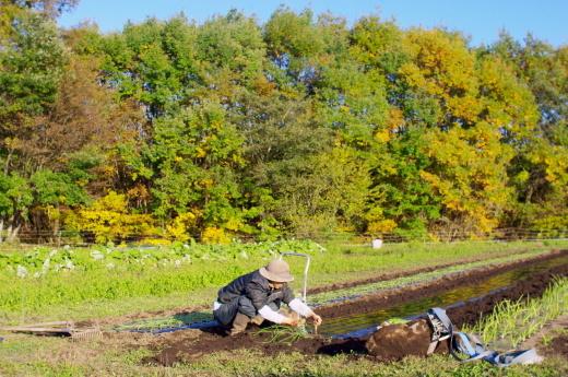 2020年収穫用のタマネギ苗を植える_c0110869_17365800.jpg