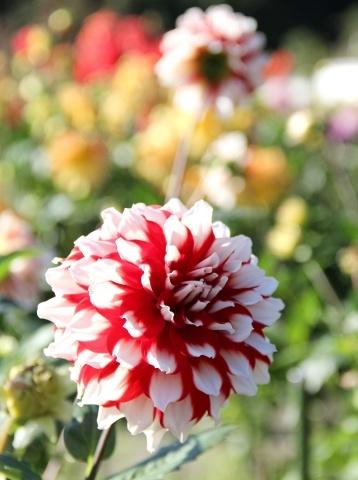 ◆黒川ダリア園へ行ってきました_e0154682_23532747.jpg