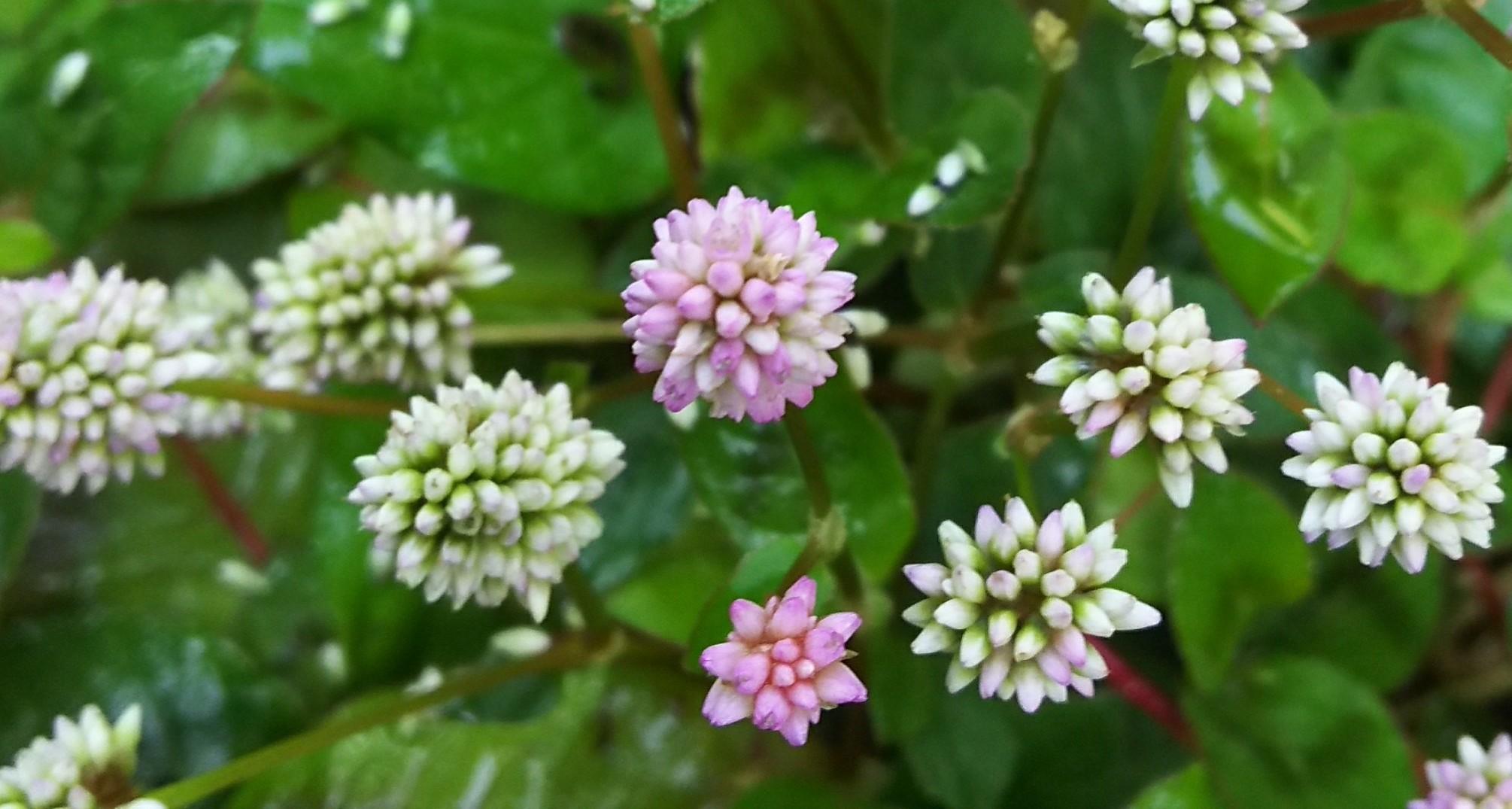 11月3日 ピンクの小花。_a0204408_15154626.jpg