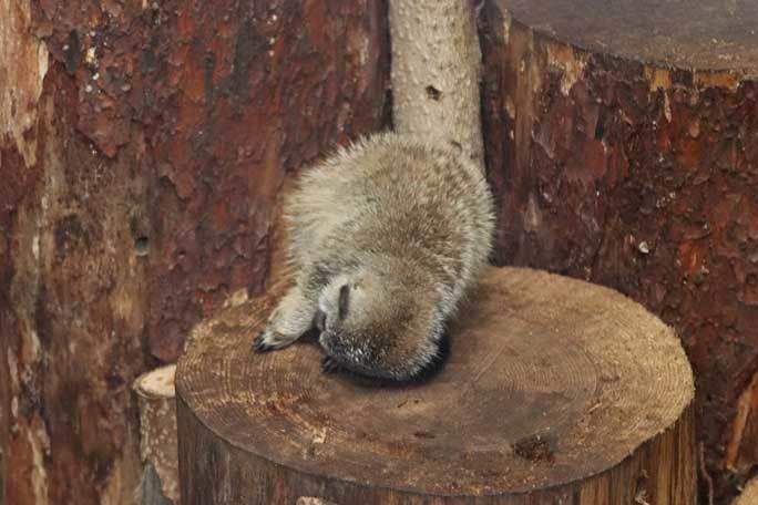 ミーアキャットの赤ちゃん成長記:生後一か月(井の頭自然文化園)その2_b0355317_13241562.jpg