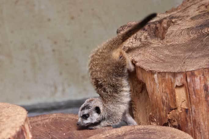 ミーアキャットの赤ちゃん成長記:生後一か月(井の頭自然文化園)その2_b0355317_13261388.jpg