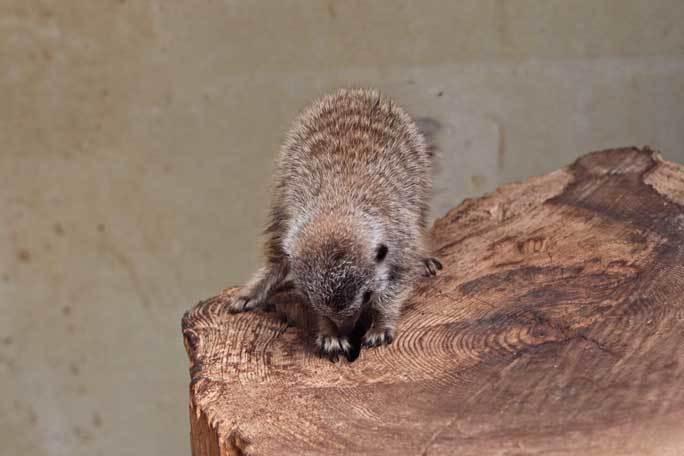 ミーアキャットの赤ちゃん成長記:生後一か月(井の頭自然文化園)その3_b0355317_20540246.jpg