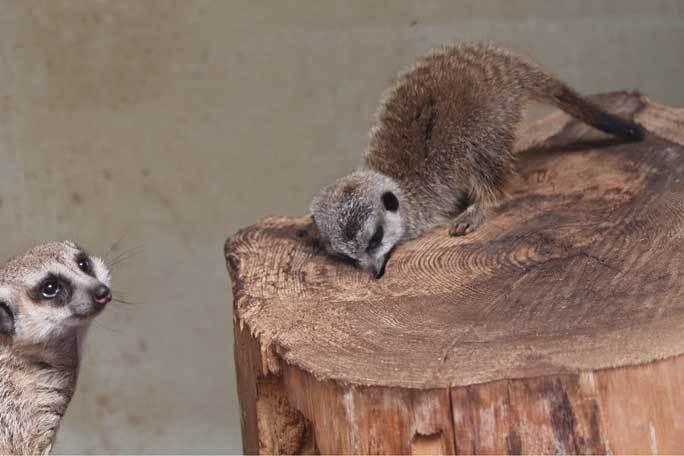 ミーアキャットの赤ちゃん成長記:生後一か月(井の頭自然文化園)その3_b0355317_20543630.jpg