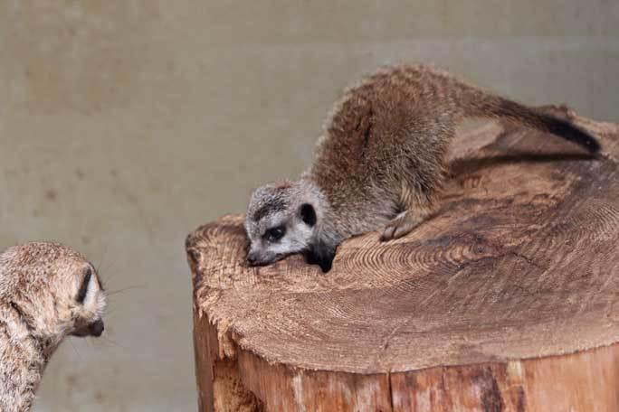 ミーアキャットの赤ちゃん成長記:生後一か月(井の頭自然文化園)その3_b0355317_20555935.jpg