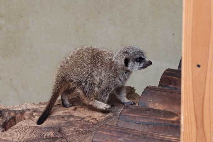 ミーアキャットの赤ちゃん成長記:生後一か月(井の頭自然文化園)その3_b0355317_20590766.jpg