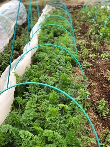 今朝は3人体制 畝を6本一気に作りました 蚕豆 エンドウ豆 スナップエンドウ 蕪 ほうれん草の畝です_c0222448_11554587.jpg