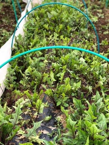 今朝は3人体制 畝を6本一気に作りました 蚕豆 エンドウ豆 スナップエンドウ 蕪 ほうれん草の畝です_c0222448_11555564.jpg