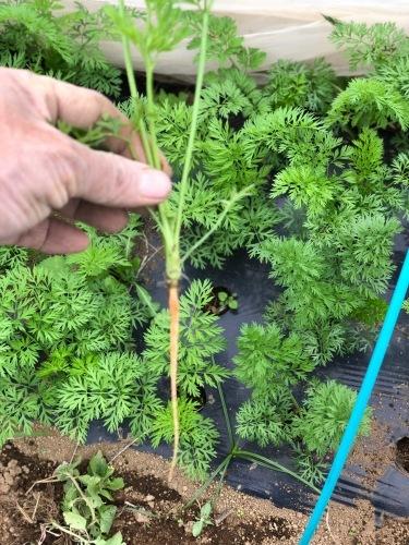 今朝は3人体制 畝を6本一気に作りました 蚕豆 エンドウ豆 スナップエンドウ 蕪 ほうれん草の畝です_c0222448_11560759.jpg