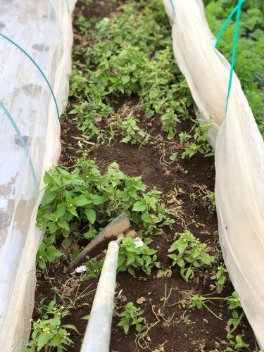 今朝は3人体制 畝を6本一気に作りました 蚕豆 エンドウ豆 スナップエンドウ 蕪 ほうれん草の畝です_c0222448_11561922.jpg