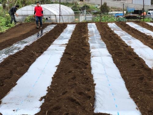 今朝は3人体制 畝を6本一気に作りました 蚕豆 エンドウ豆 スナップエンドウ 蕪 ほうれん草の畝です_c0222448_11563164.jpg