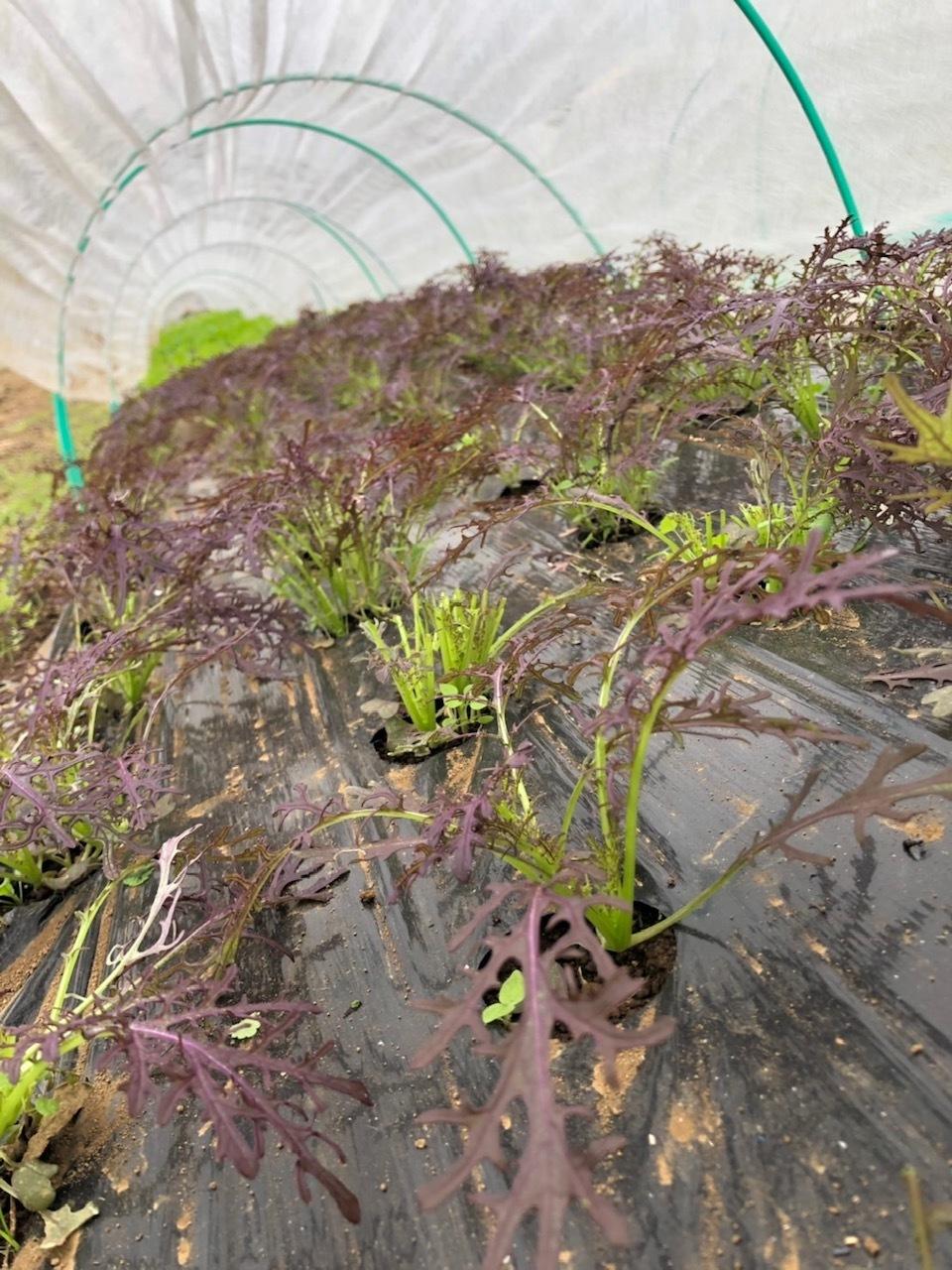今朝は3人体制 畝を6本一気に作りました 蚕豆 エンドウ豆 スナップエンドウ 蕪 ほうれん草の畝です_c0222448_11571042.jpg