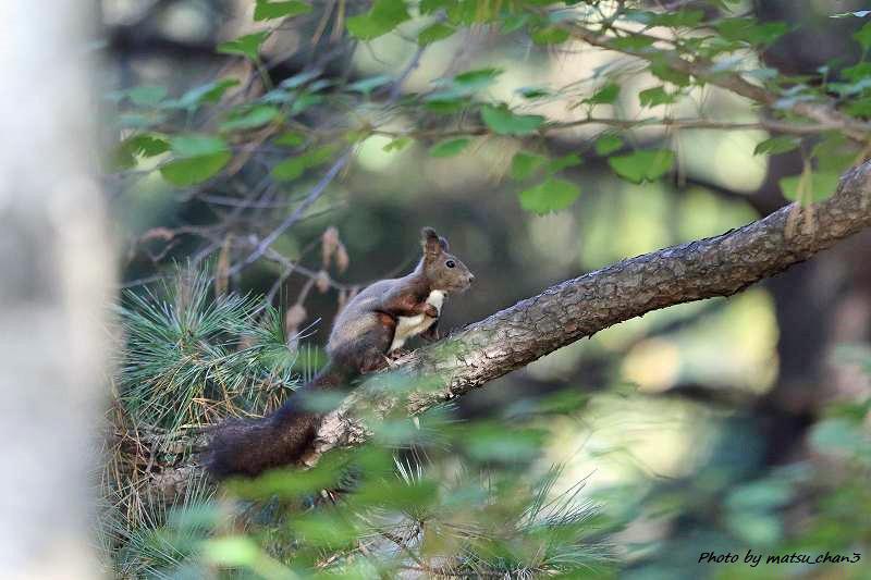 エゾリス Hokkaido Squirrel_c0070654_18511772.jpg