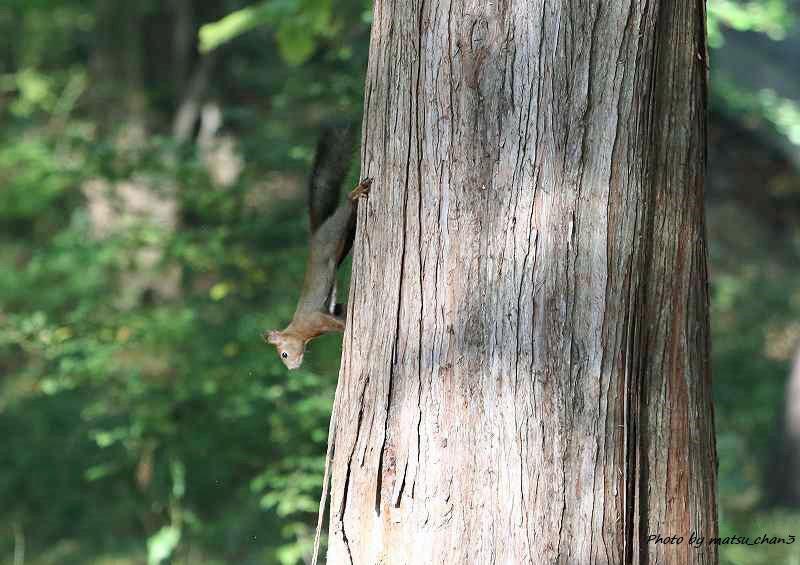 エゾリス Hokkaido Squirrel_c0070654_18513495.jpg