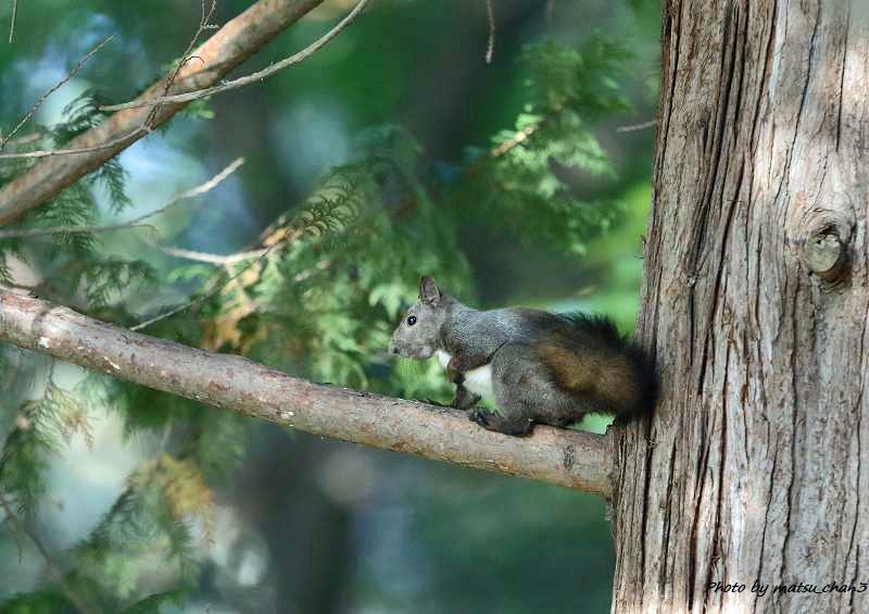 エゾリス Hokkaido Squirrel_c0070654_18515220.jpg
