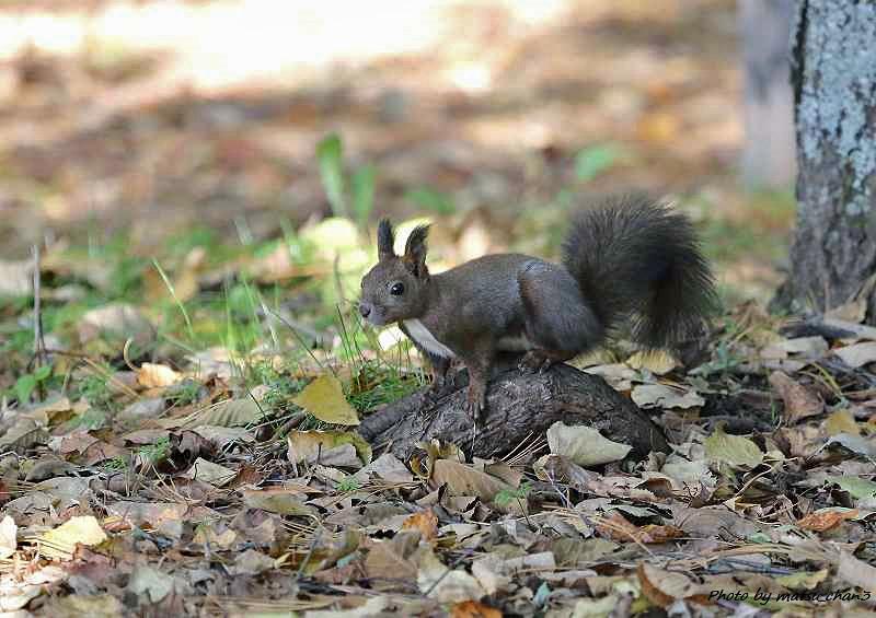 エゾリス Hokkaido Squirrel_c0070654_18520689.jpg