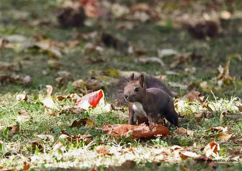 エゾリス Hokkaido Squirrel_c0070654_19560141.jpg