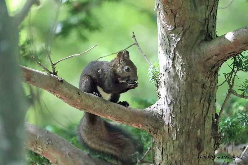 エゾリス Hokkaido Squirrel_c0070654_19561932.jpg