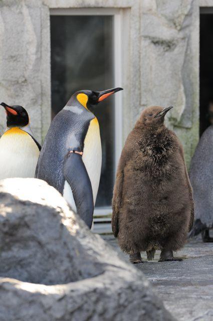ペンギンの王子様?_c0081462_22594189.jpg