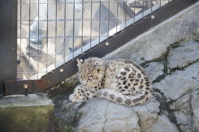 ユキヒョウの赤ちゃんがいた!_c0081462_22594503.jpg