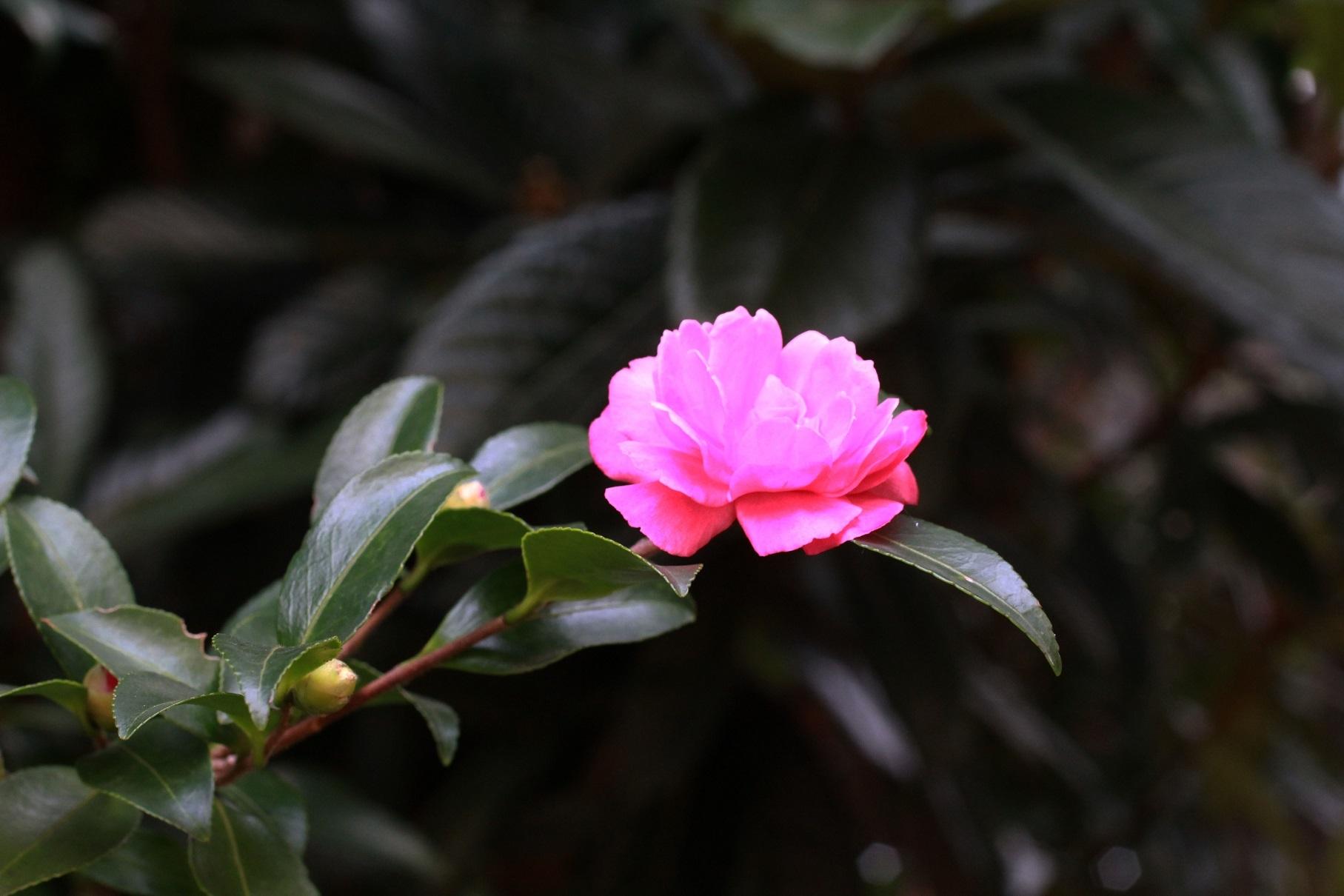 山茶花_a0107574_16055193.jpg
