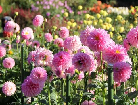 ◆黒川ダリア園へ行ってきました_e0154682_00350489.jpg