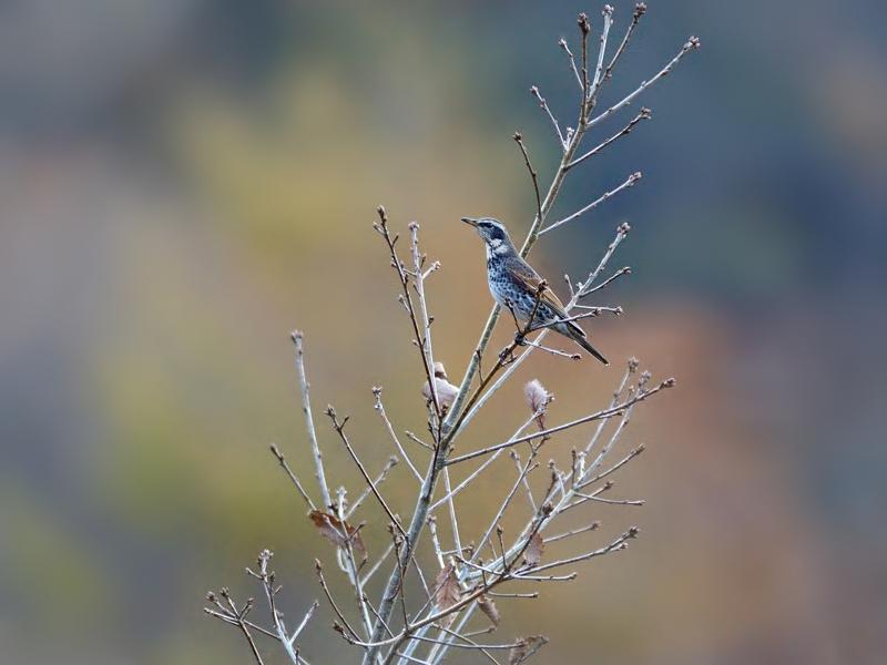 お山にいよいよ冬鳥たちがやってきた(ツグミ)_a0204089_19134774.jpg