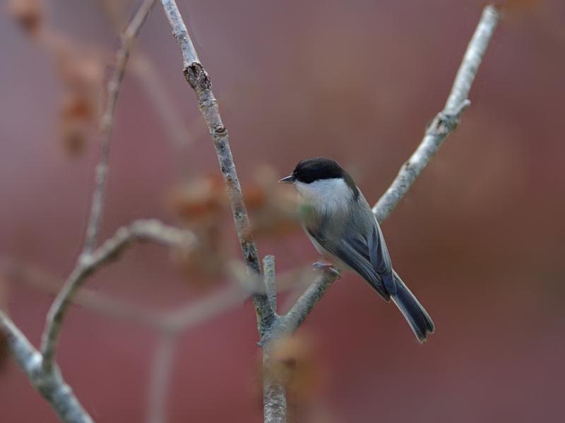 お山にいよいよ冬鳥たちがやってきた(ツグミ)_a0204089_19135535.jpg