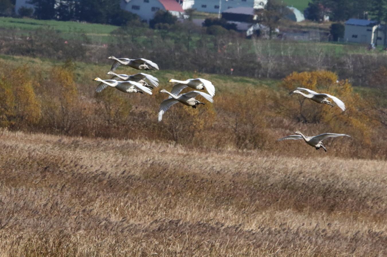 MFの渡り鳥たち_c0360399_21075154.jpg