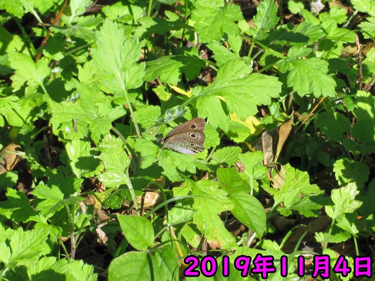 11月のヒメウラナミジャノメ_e0253104_16112829.jpg
