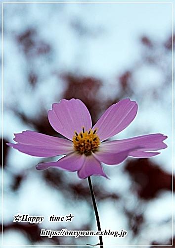 おばんざい弁当と秋桜♪_f0348032_16540813.jpg