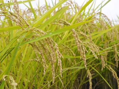 健康農園さんの無農薬栽培『雑穀米』『発芽玄米』大好評発売中!無農薬栽培のこだわりの様子!_a0254656_18192477.jpg