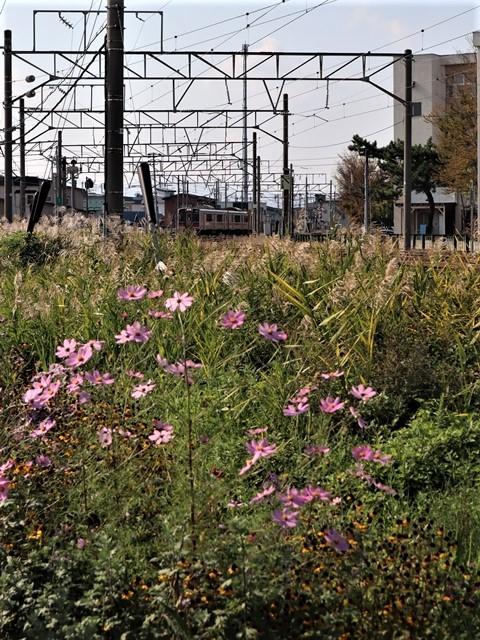 藤田八束の鉄道写真@青い森鉄道のモーリー君、秋の花が綺麗な青森駅トライアングル、生活の調和が素敵な花々と鉄道・・・・ガーデニング_d0181492_21121698.jpg