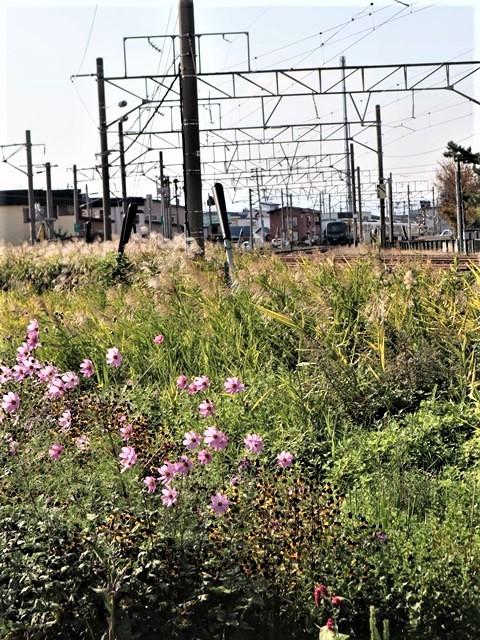 藤田八束の鉄道写真@青い森鉄道のモーリー君、秋の花が綺麗な青森駅トライアングル、生活の調和が素敵な花々と鉄道・・・・ガーデニング_d0181492_21134393.jpg