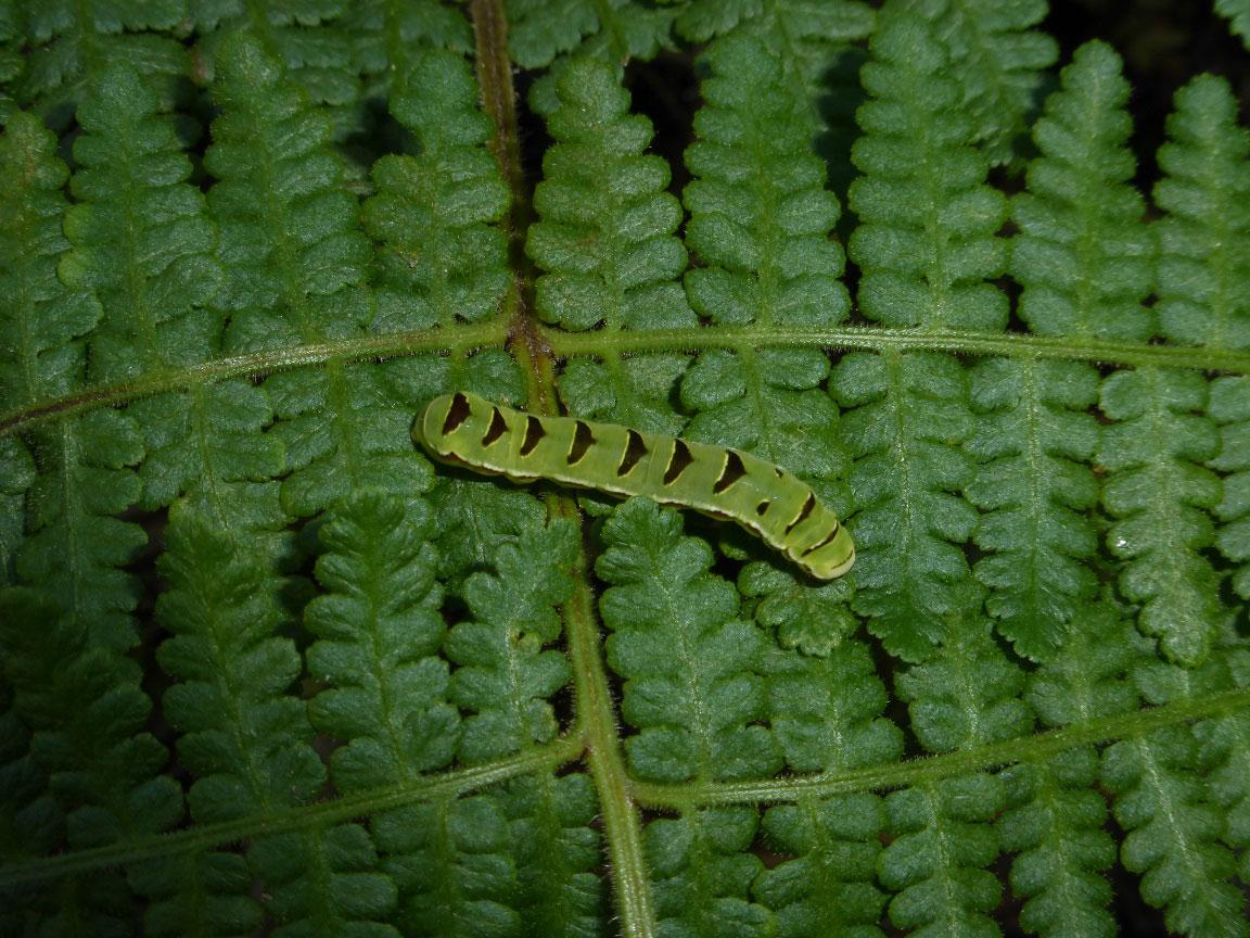 シダにツマキリヨトウ類の幼虫と思われるイモムシが…_b0025008_14143167.jpg