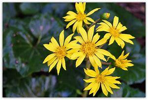 つわぶきの花がさいています。_c0221937_17383759.jpg