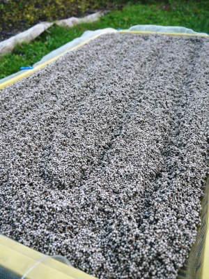 白えごま油『ピュアホワイト』令和元年内の出荷に向け収穫後の様子!熊本県菊池水源産、無農薬栽培のエゴマ_a0254656_17310518.jpg