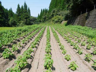 白えごま油『ピュアホワイト』令和元年内の出荷に向け収穫後の様子!熊本県菊池水源産、無農薬栽培のエゴマ_a0254656_17581863.jpg
