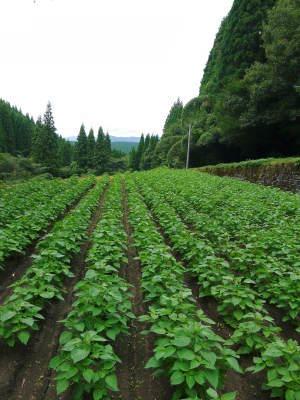 白えごま油『ピュアホワイト』令和元年内の出荷に向け収穫後の様子!熊本県菊池水源産、無農薬栽培のエゴマ_a0254656_18051264.jpg