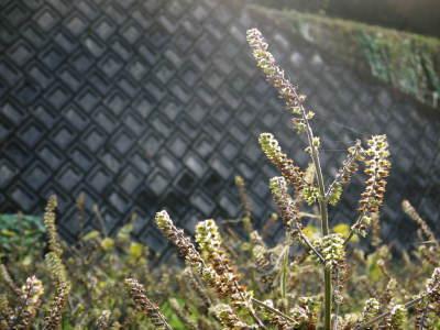 白えごま油『ピュアホワイト』令和元年内の出荷に向け収穫後の様子!熊本県菊池水源産、無農薬栽培のエゴマ_a0254656_18365803.jpg