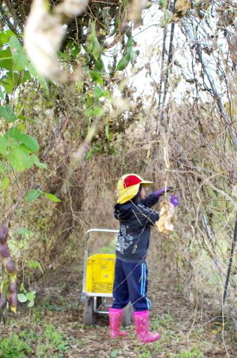 紫花豆の収穫2019_c0110869_05552309.jpg