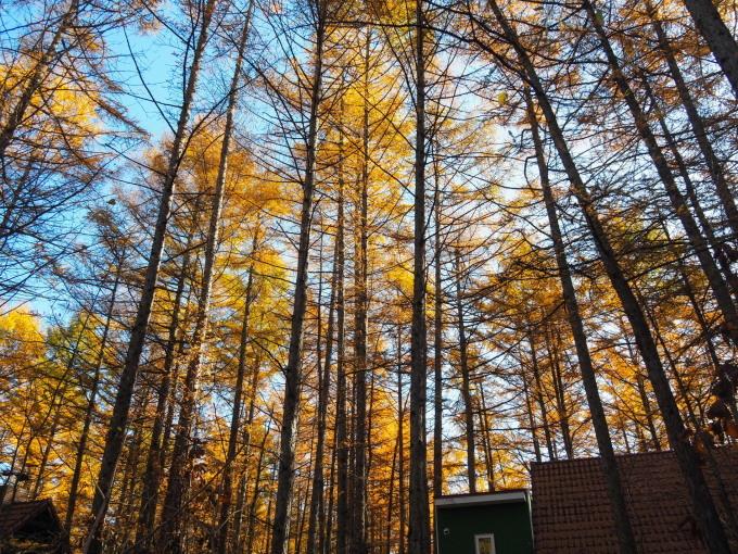 秋深まり、カラマツの紅葉とエゾリス君、庭は黄金色の絨毯に!_f0276498_12115466.jpg