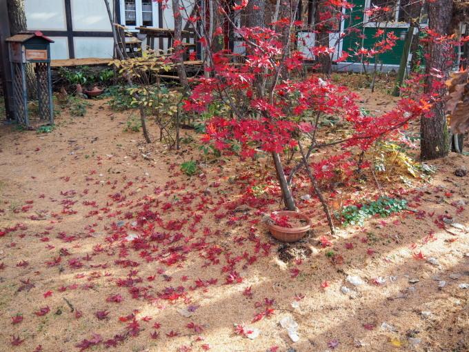 秋深まり、カラマツの紅葉とエゾリス君、庭は黄金色の絨毯に!_f0276498_12144619.jpg