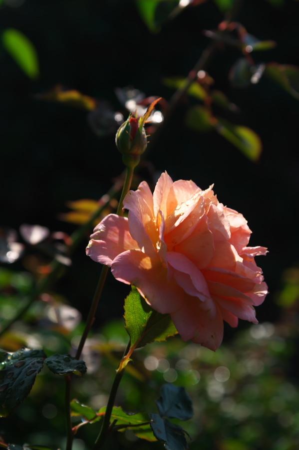 館林 東武トレジャーガーデンの秋薔薇1_a0263109_19325722.jpg