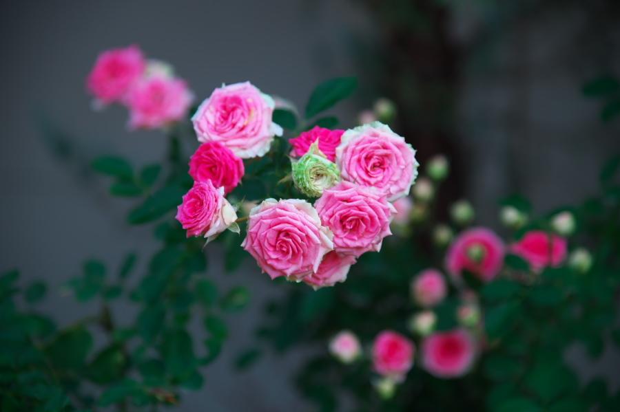 館林 東武トレジャーガーデンの秋薔薇1_a0263109_19325795.jpg