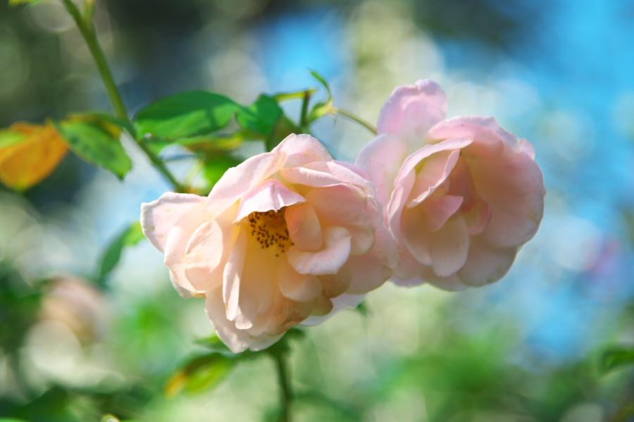 館林 東武トレジャーガーデンの秋薔薇1_a0263109_19325835.jpg