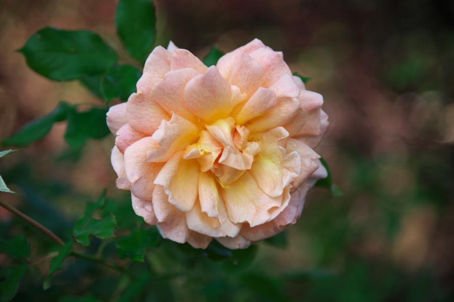 館林 東武トレジャーガーデンの秋薔薇1_a0263109_19325837.jpg